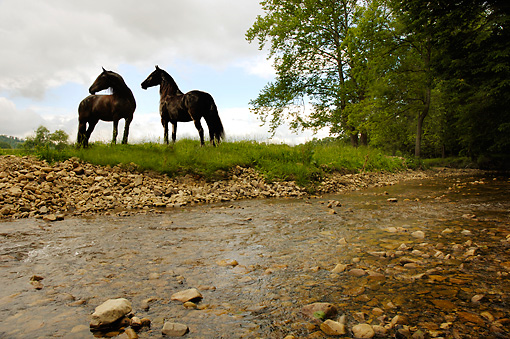 HOR 01 MB0063 01 © Kimball Stock Two Friesian Mares Standing By Stream Trees