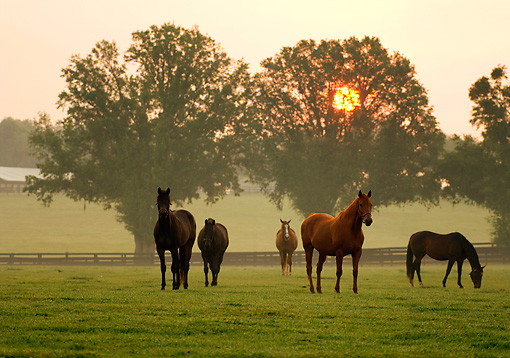 HOR 01 MB0066 01 © Kimball Stock Thoroughbred Mares Grazing In Pasture By Trees At Sunrise
