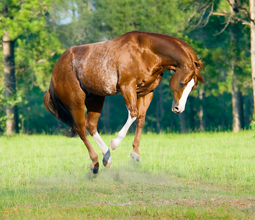 HOR 01 MB0068 01 © Kimball Stock Red Roan American Quarter Horse Stallion Bucking In Field