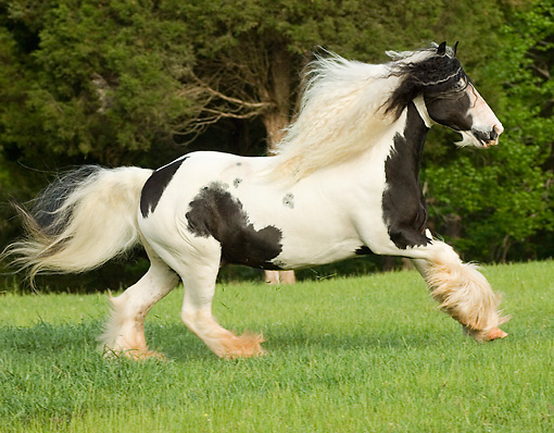 HOR 01 MB0070 01 © Kimball Stock Gypsy Vanner Horse Stallion Cantering In Pasture
