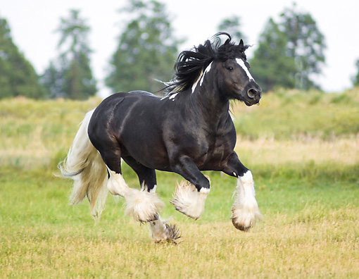 HOR 01 MB0071 01 © Kimball Stock Gypsy Vanner Horse Stallion Cantering In Pasture
