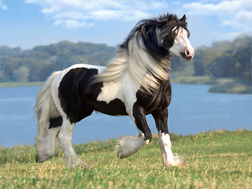 HOR 01 MB0072 01 © Kimball Stock Gypsy Vanner Horse Stallion Trotting In Pasture By Lake