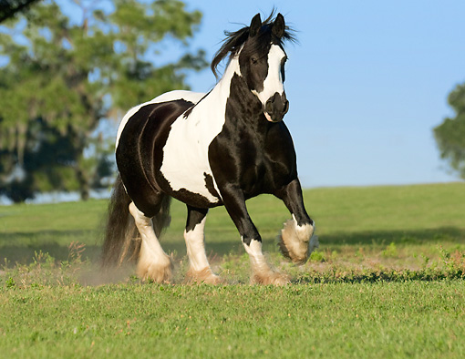 HOR 01 MB0073 01 © Kimball Stock Gypsy Vanner Horse Mare Trotting In Pasture