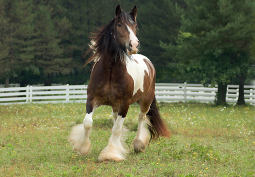 HOR 01 MB0077 01 © Kimball Stock Gypsy Vanner Horse Mare Trotting In Pasture