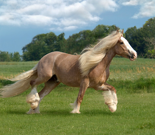 HOR 01 MB0078 01 © Kimball Stock Gypsy Vanner Horse Stallion Trotting In Pasture