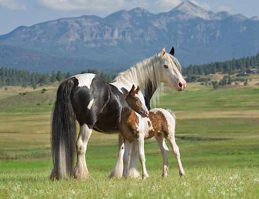 HOR 01 MB0083 01 © Kimball Stock Gypsy Vanner Horse Mare And Foal Standing In Pasture