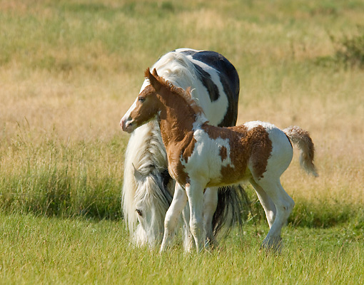 HOR 01 MB0085 01 © Kimball Stock Gypsy Vanner Horse Mare And Foal Grazing In Pasture