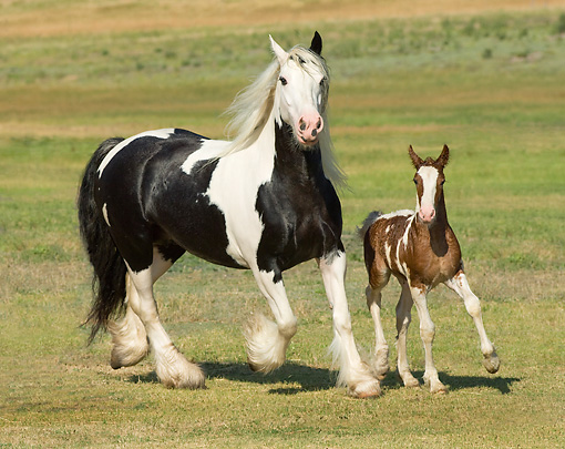 HOR 01 MB0086 01 © Kimball Stock Gypsy Vanner Horse Mare And Foal Trotting In Pasture