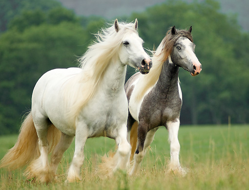 HOR 01 MB0091 01 © Kimball Stock Two Gypsy Vanner Horse Mares Trotting In Pasture