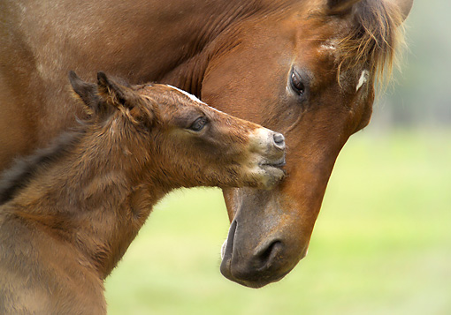 HOR 01 MB0102 01 © Kimball Stock Close-Up Of Appaloosa Mare And Foal Nuzzling In Pasture