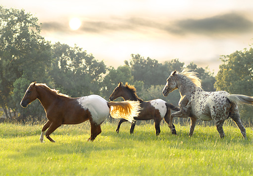 HOR 01 MB0103 01 © Kimball Stock Appaloosa Family Cantering In Pasture