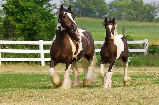 HOR 01 MB0108 01 © Kimball Stock Gypsy Vanner Horse Mare And Foal Trotting In Pasture