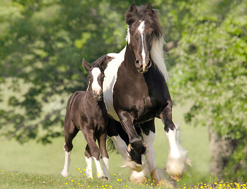 HOR 01 MB0109 01 © Kimball Stock Gypsy Vanner Horse Mare And Foal Cantering In Pasture