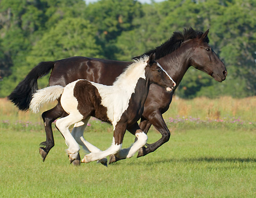 HOR 01 MB0110 01 © Kimball Stock Gypsy Vanner Horse Mare And Foal Cantering In Pasture