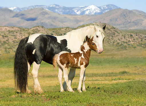 HOR 01 MB0112 01 © Kimball Stock Gypsy Vanner Horse Mare And Foal Standing In Pasture