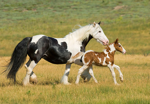 HOR 01 MB0113 01 © Kimball Stock Gypsy Vanner Horse Mare And Foal Running In Pasture
