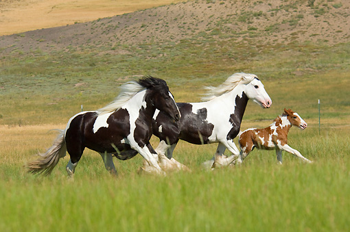 HOR 01 MB0114 01 © Kimball Stock Gypsy Vanner Horse Mares And Foal Galloping In Pasture