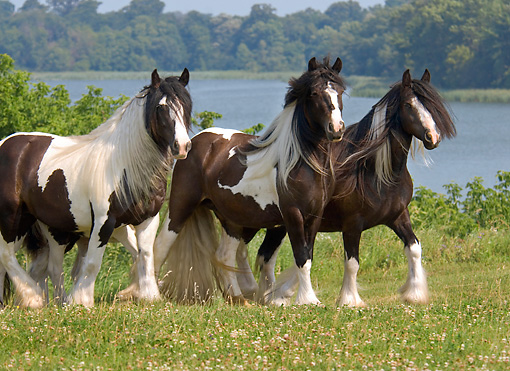 HOR 01 MB0115 01 © Kimball Stock Three Gypsy Vanner Horses Standing In Pasture By Lake