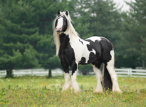 HOR 01 MB0117 01 © Kimball Stock Gypsy Vanner Stallion Standing In Pasture