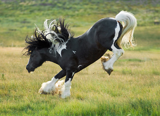 HOR 01 MB0118 01 © Kimball Stock Gypsy Vanner Stallion Bucking In Pasture