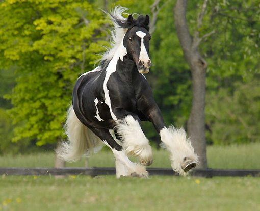 HOR 01 MB0120 01 © Kimball Stock Gypsy Vanner Stallion Cantering In Pasture