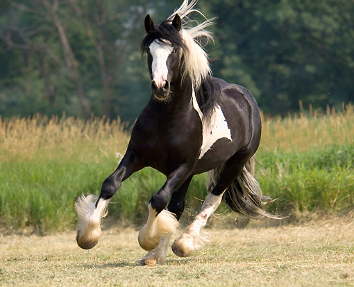 HOR 01 MB0121 01 © Kimball Stock Gypsy Vanner Stallion Cantering In Pasture