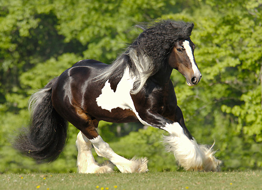HOR 01 MB0122 01 © Kimball Stock Gypsy Vanner Stallion Cantering In Pasture