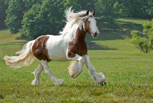 HOR 01 MB0124 01 © Kimball Stock Gypsy Vanner Horse Cantering In Pasture
