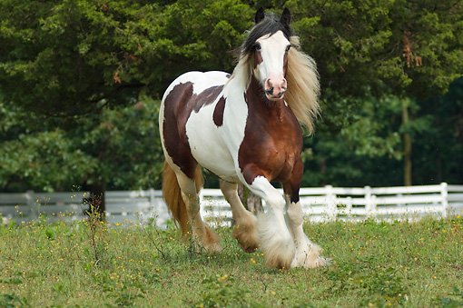 HOR 01 MB0125 01 © Kimball Stock Gypsy Vanner Horse Trotting In Pasture