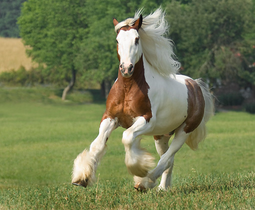 HOR 01 MB0127 01 © Kimball Stock Gypsy Vanner Horse Cantering In Pasture