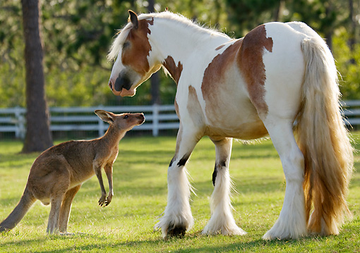 HOR 01 MB0128 01 © Kimball Stock Gypsy Vanner Horse And Kangaroo Standing In Pasture