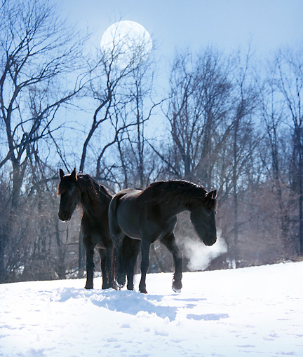 HOR 01 MB0132 01 © Kimball Stock Two Friesian Horses Walking In Snow By Trees And Full Moon