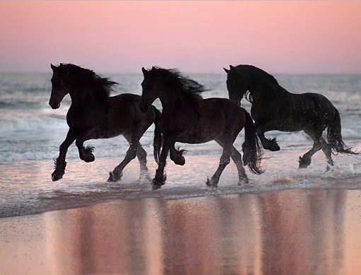 HOR 01 MB0134 01 © Kimball Stock Three Friesian Horses Cantering In Surf On Beach At Dusk