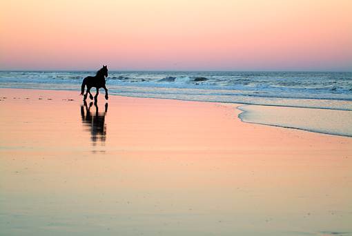 HOR 01 MB0135 01 © Kimball Stock Friesian Horse Cantering In Surf On Beach At Dusk