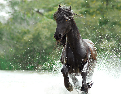 HOR 01 MB0136 01 © Kimball Stock Friesian Horse Stallion Cantering In Shallow Water