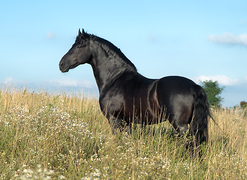 HOR 01 MB0138 01 © Kimball Stock Friesian Horse Standing In Field