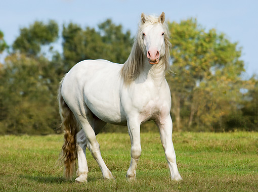 HOR 01 MB0145 01 © Kimball Stock American White Draft Horse Trotting In Pasture
