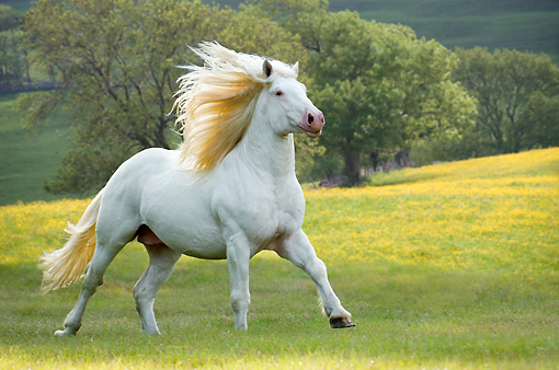 HOR 01 MB0146 01 © Kimball Stock American White Draft Horse Cantering In Pasture