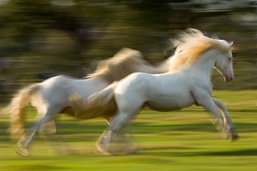 HOR 01 MB0148 01 © Kimball Stock Two American White Draft Horses Galloping In Pasture
