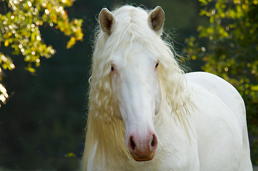 HOR 01 MB0149 01 © Kimball Stock Close-Up Of American White Draft Horse Standing By Trees