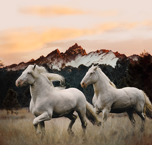 HOR 01 MB0150 01 © Kimball Stock Two American White Draft Horses Trotting In Pasture At Dusk