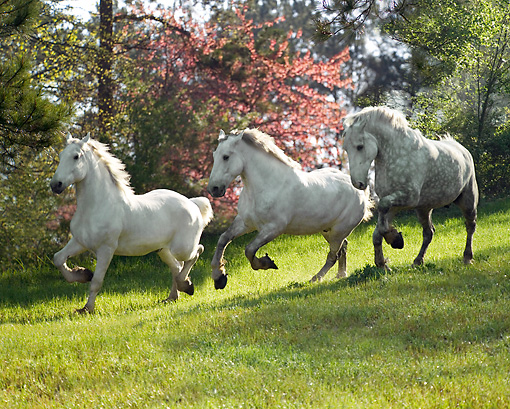 HOR 01 MB0151 01 © Kimball Stock Three Percheron Draft Horses Cantering In Pasture