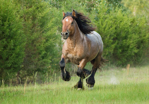 HOR 01 MB0152 01 © Kimball Stock Ardennes Draft Horse Cantering In Pasture