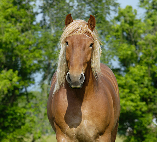 HOR 01 MB0156 01 © Kimball Stock Close-Up Of Belgian Draft Horse Standing In Pasture