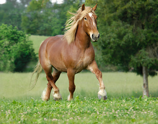 HOR 01 MB0159 01 © Kimball Stock Belgian Draft Horse Trotting In Pasture