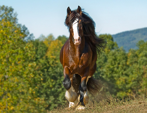 HOR 01 MB0164 01 © Kimball Stock Shire Draft Horse Trotting In Pasture