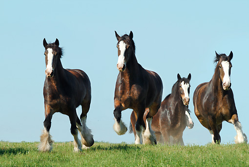 HOR 01 MB0167 01 © Kimball Stock Herd Of Shire Draft Horses Running In Pasture