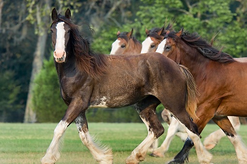 HOR 01 MB0168 01 © Kimball Stock Herd Of Clydesdale Draft Horses Trotting In Pasture
