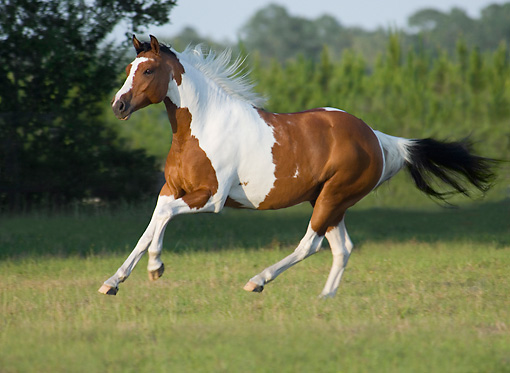 paint horse - Animal Stock Photos - Kimballstock