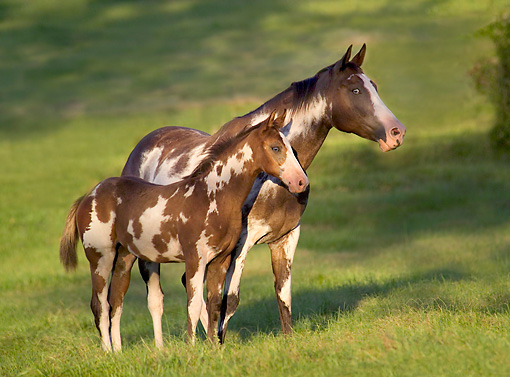 HOR 01 MB0172 01 © Kimball Stock American Paint Horse Mare And Hanoverian Cross Foal Standing In Pasture